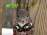 常年出售魔王松鼠,日本大眼