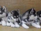 重慶狗狗之家長期出售高品質 哈士奇 售后無憂