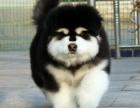 杭州纯种阿拉斯加犬雪橇犬阿拉斯加幼犬出售巨型阿拉斯加宠物狗狗
