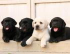 现在拉布拉多犬的价格什么地方出售拉布拉多犬