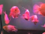 鹦鹉鱼13条