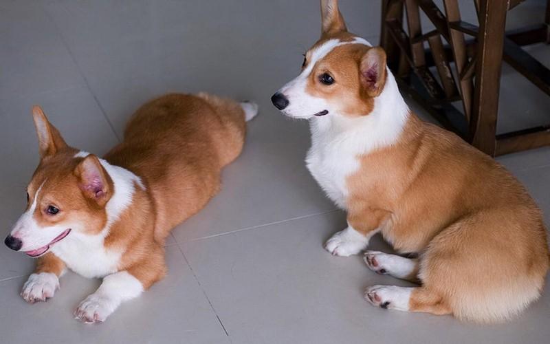 精品柯基幼犬,可爱的小短腿快快带回家吧,包健康
