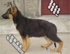 家养纯种德国牧羊犬便宜出售了 喜欢的可以加我详聊