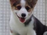 柯基是英国女王和现代女神的较爱 专业繁殖纯种柯基犬