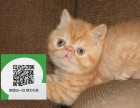 徐州哪里有卖加菲猫 徐州出售加菲猫 徐州加菲猫买卖