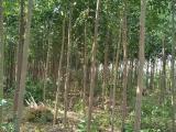 新疆 分丝绵木的价格 产地直销