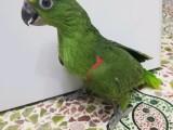 出售亚马逊鹦鹉 金刚鹦鹉 葵花鹦鹉 灰鹦鹉 凯克 大绯胸鹦鹉