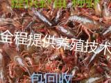 秋季龙虾苗价格小龙虾幼苗批发