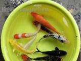 专业批发小红草大红草红鲤鱼各种规格锦鲤鱼金鱼等