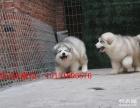 重庆阿拉斯加多少钱 重庆哪里卖熊版灰色阿拉斯加 阿拉斯加价格