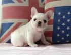 西安自家繁殖法国斗牛犬出售公母都有三针疫苗齐全