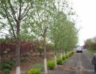 扬州30公分法桐树一级树价格