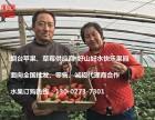 烟台草莓批发 烟台苹果产地直供 草莓供应商-烟台草莓批发拿货