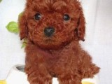 郑州哪有泰迪犬卖 郑州泰迪犬价格 郑州泰迪犬多少钱