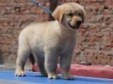 金毛幼犬出售,纯种健康的狗狗幼犬犬舍繁殖父母可见