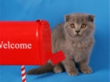 折耳猫纯种 折耳猫 幼猫 苏格兰折耳猫宠物