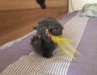 深圳买猫去哪里深圳买蓝猫深圳哪里有正规猫舍