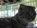 三个三个月的美短小母猫出售
