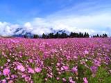 波斯菊种子一般多少钱一斤