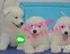 纪滋官微笑天使 熊版萨摩耶 雪橇犬 萌宠狗狗 自家繁殖
