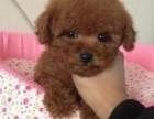上海出售纯种健康泰迪犬 包犬瘟细小冠状 终身包售后