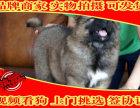 纯种高加索幼犬 正规犬舍繁殖 包活签协议