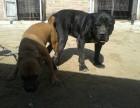 重庆卡斯罗犬价格杜高犬多少钱卡斯罗犬图片纯种卡斯罗狗幼犬