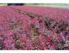 农户价销售河北定州苗木红叶小檗
