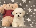 cku注册五星级犬舍 双血统比熊犬可上门挑选