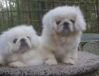安阳什么地方有狗场卖宠物狗/安阳哪里有卖京巴犬