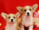 北京出售 纯种柯基幼犬 疫苗齐全出售中 可签协议健康保障
