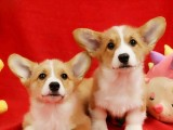 北京出售 純種柯基幼犬 疫苗齊全出售中 可簽協議健康保障