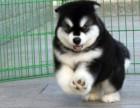 高大,威武的阿拉斯加健康纯种犬类齐全!可送货!