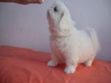 京巴钱一只 里有卖京巴幼犬的
