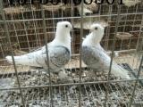 鞍山出售元宝鸽肉鸽凤尾金眼白墨环眼睛球毛领熊猫金鱼等观赏鸽
