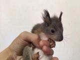 蜜袋鼯,,迷你刺猬,雪地魔王松鼠,飞鼠