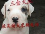 广西贵港市哪里有卖杜高幼犬的