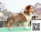 哪里有卖喜乐蒂犬 出售纯种喜乐蒂犬犬舍在哪里