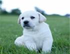 拉布拉多幼犬多少钱 拉布拉多好养吗 拉布拉多哪里有卖