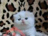 猫舍直销多只加菲猫宝宝 身体健康 品相好 价格合