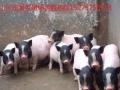 巴马香猪养殖场藏香猪的养殖成本