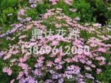 供应潍坊优质的荷兰菊荷兰菊种植基地