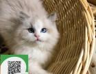 徐州哪里开猫舍卖布偶猫 去哪里可以买得到纯种布偶猫