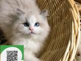 南通哪里开猫舍卖布偶猫 去哪里可以买得到纯种布偶猫