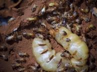 天河区灭白蚁 海珠区灭白蚁 广州灭白蚁 番禺区灭白蚁