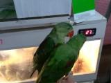 亞歷山大鸚鵡 小太陽鸚鵡 和尚鸚鵡 鷯哥 吸蜜鸚鵡 灰鸚鵡