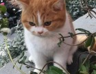上海广州深圳北京怎么挑选英短猫 淘宝搜:双飞猫