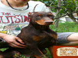 杜宾犬凶猛吗 杜宾犬成年多重 怎么训练杜宾犬