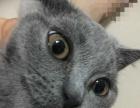 纯种蓝猫幼猫母猫