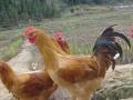 常年出售优质鸡苗免费送货上门 免加盟费